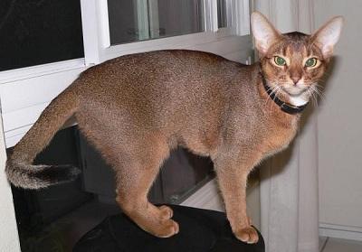 Самая дорогая кошка в мире