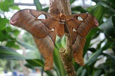 Самая большая бабочка в мире
