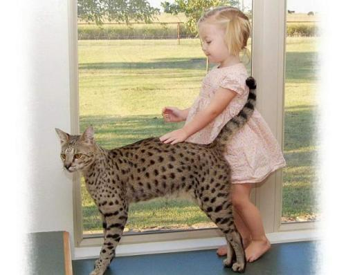Самая большая кошка в мире