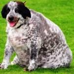 Самая толстая собака в мире