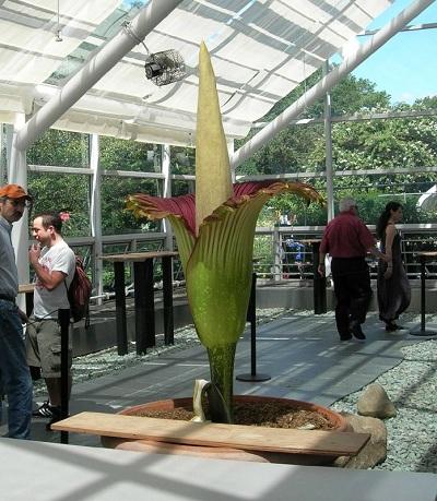 Самый большой цветок в мире