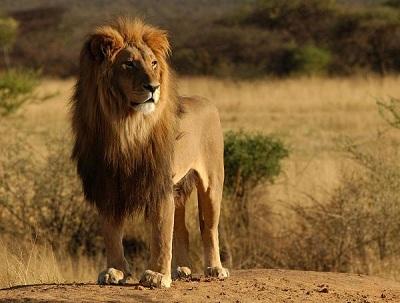 Самый большой лев в мире