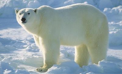 Картинки по запросу билая медвед