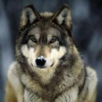 Самый большой волк в мире