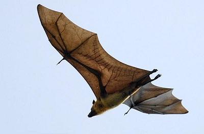 Самая большая летучая мышь