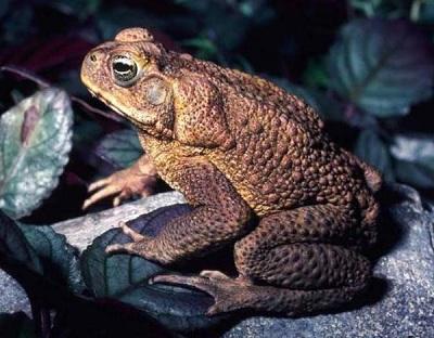 Самая большая жаба в мире