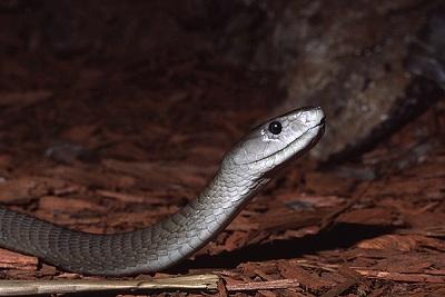 Самая быстрая змея в мире