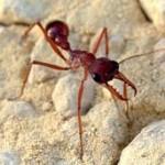 Самый большой муравей в мире