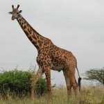 Самое высокое животное в мире