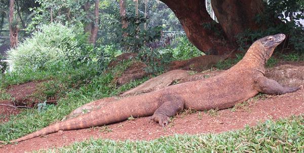 Самая большая ящерица в мире