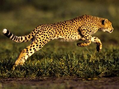 Самый быстрый хищник на земле