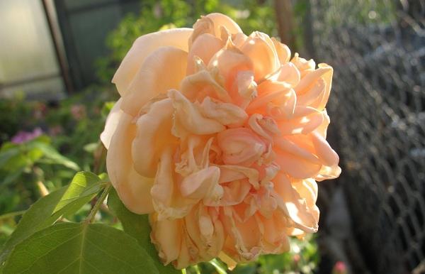 Самые красивые розы