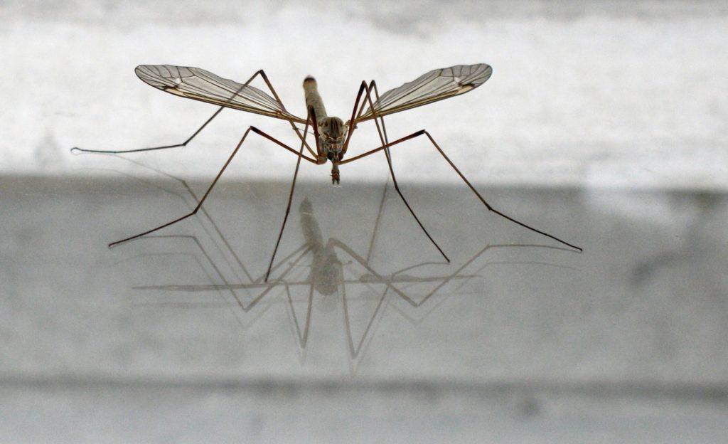 Караморы или комары-долгоножки