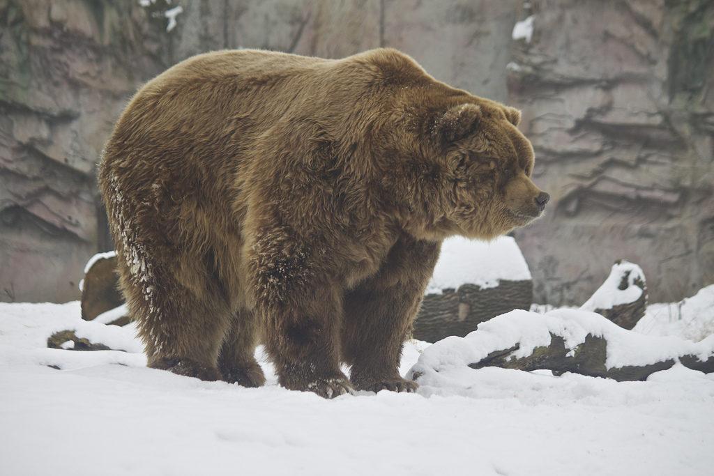 Кадьяк самый большой вид медведей