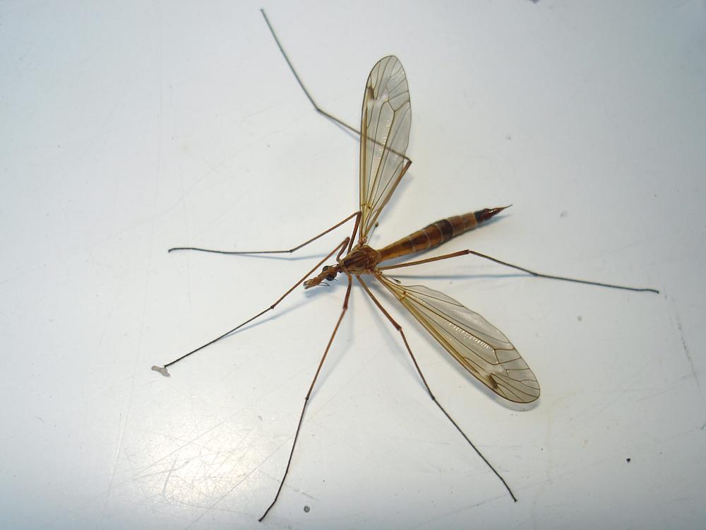 Самый большой комар в мире